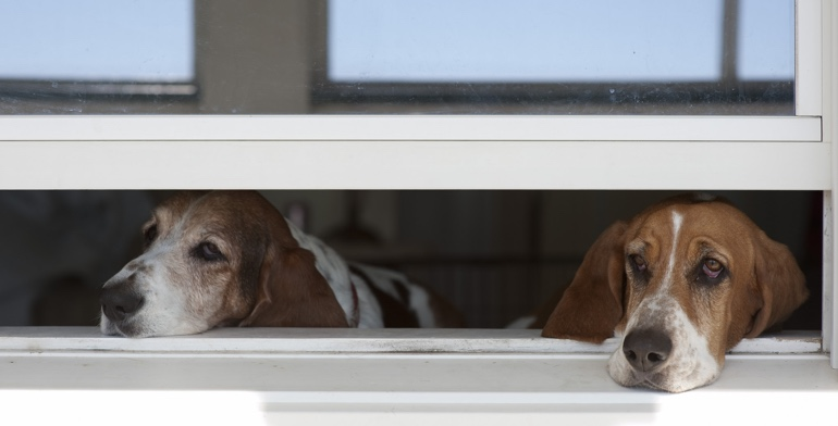 Beagles look out open window with no window treatment in Honolulu.